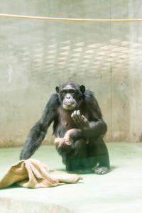 チンパンジーの赤ちゃんは常にお母さんの体にしがみついている